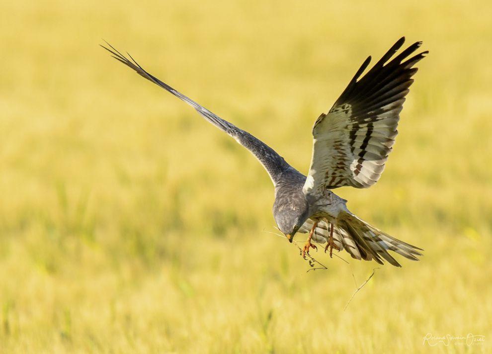 Observation des oiseaux en Vendée : le busard cendré