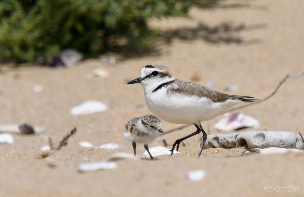 Observer les oiseaux en vendée, comme le gravelot à collier interrompu nicheur