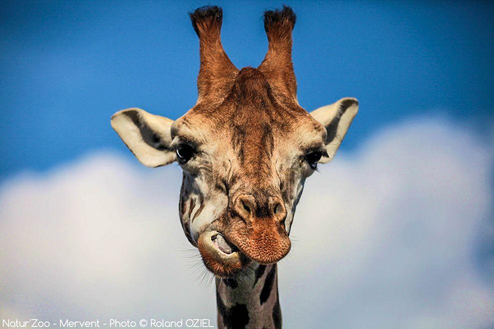 girafe du zoo de mervent