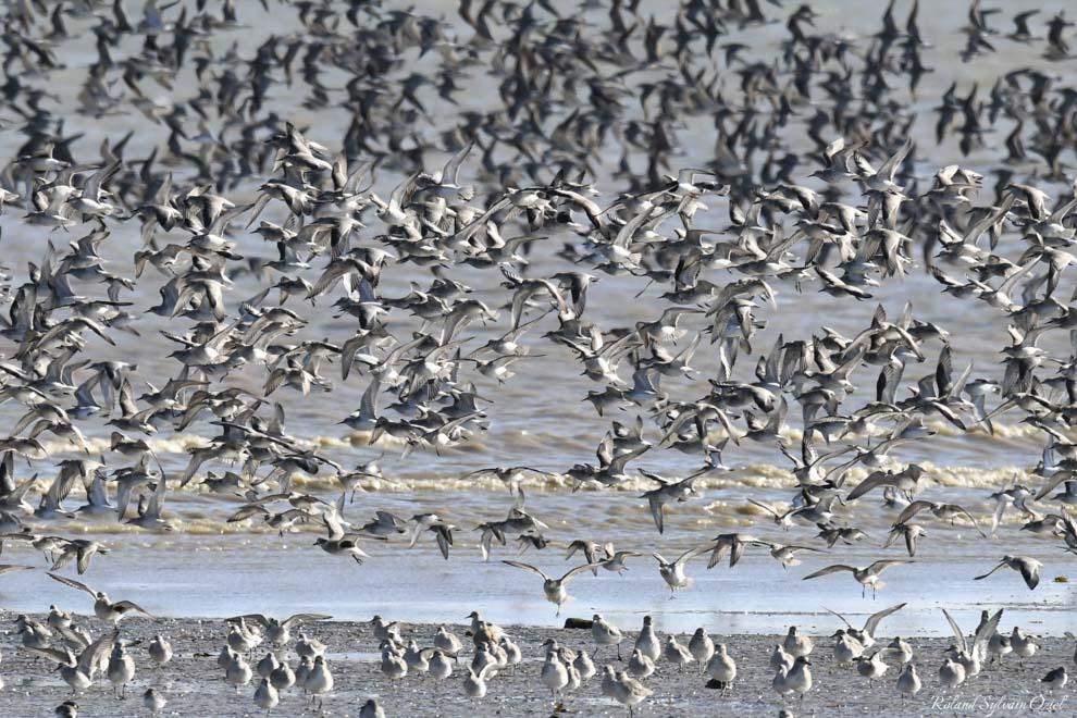 Louez votre gîte ou votre chambre d'hôtes pour admirer le vol de milliers d'oiseaux sur le Passage du Gois
